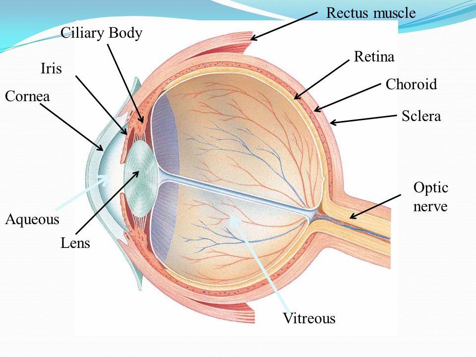 Rectus muscle Ciliary Body Retina Iris Choroid Cornea Sclera Optic nerve Aqueous Lens Vitreous