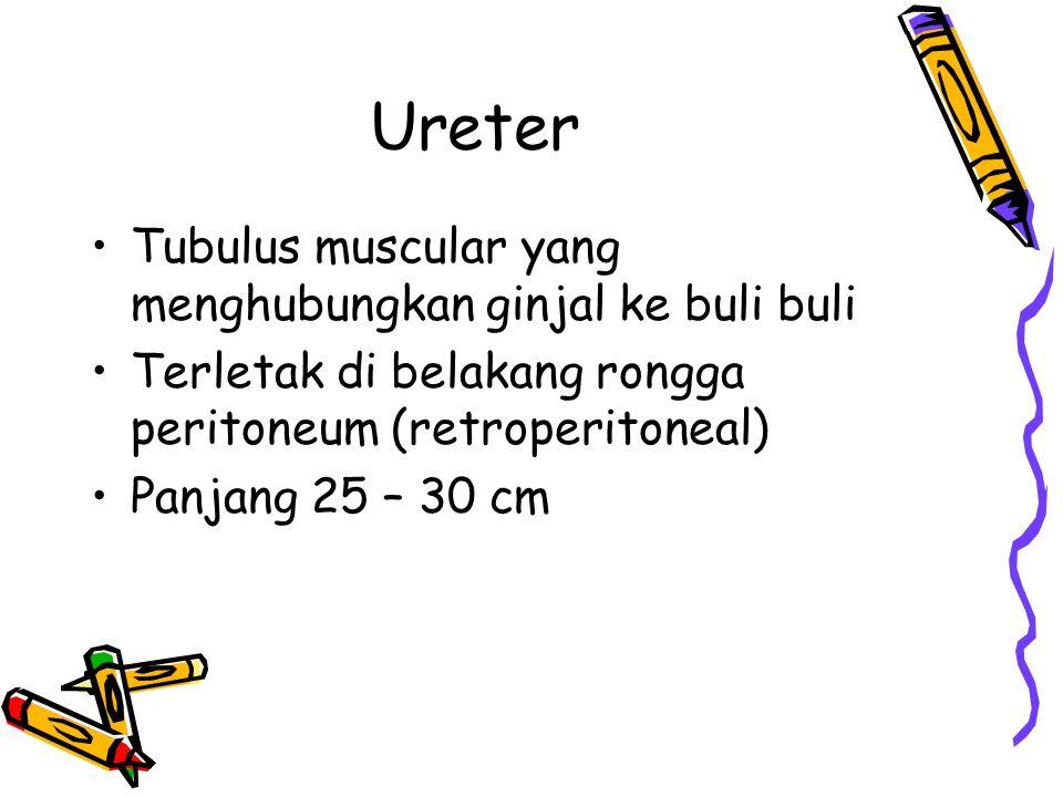 Ureter Tubulus muscular yang menghubungkan ginjal ke buli buli