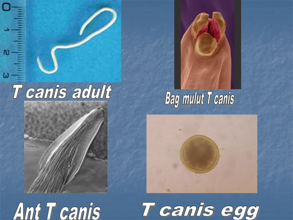 T canis adult Bag mulut T canis Ant T canis T canis egg