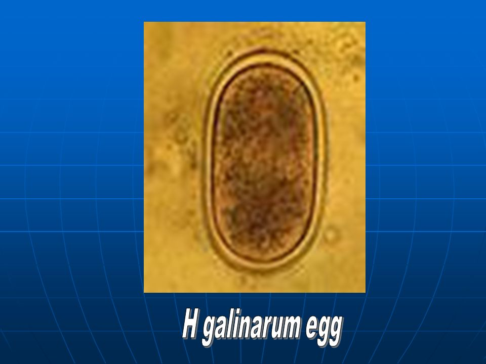 H galinarum egg