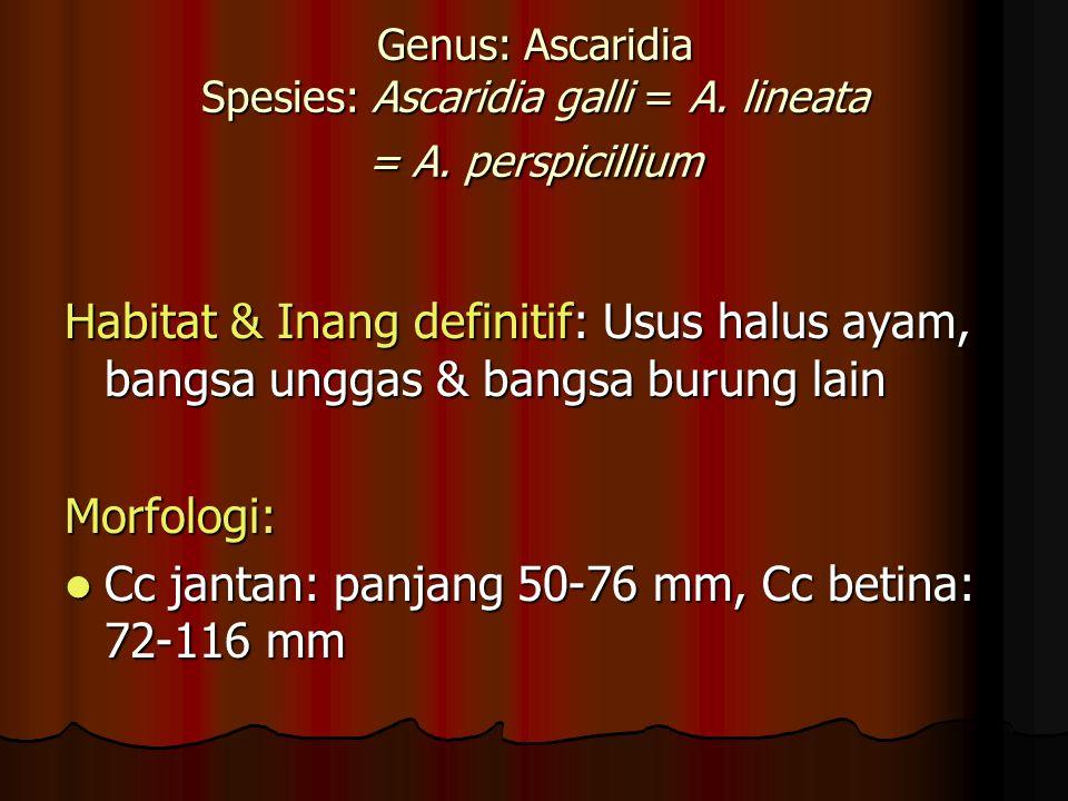 Cc jantan: panjang 50-76 mm, Cc betina: 72-116 mm
