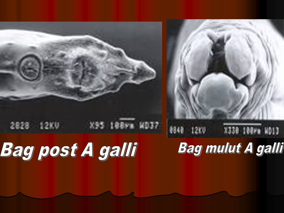 Bag post A galli Bag mulut A galli
