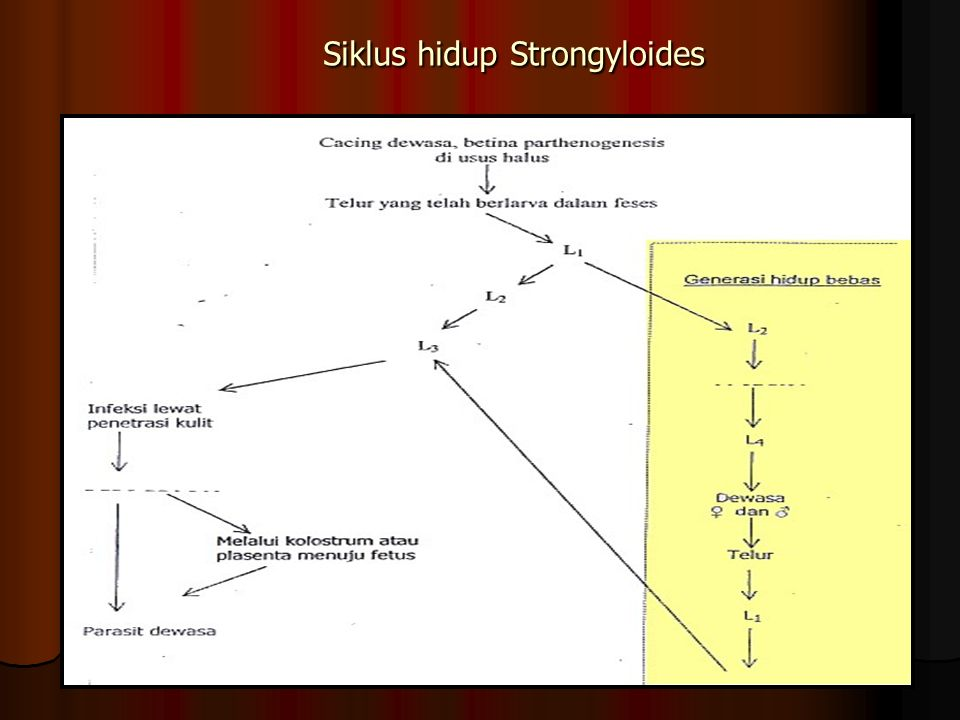 Siklus hidup Strongyloides