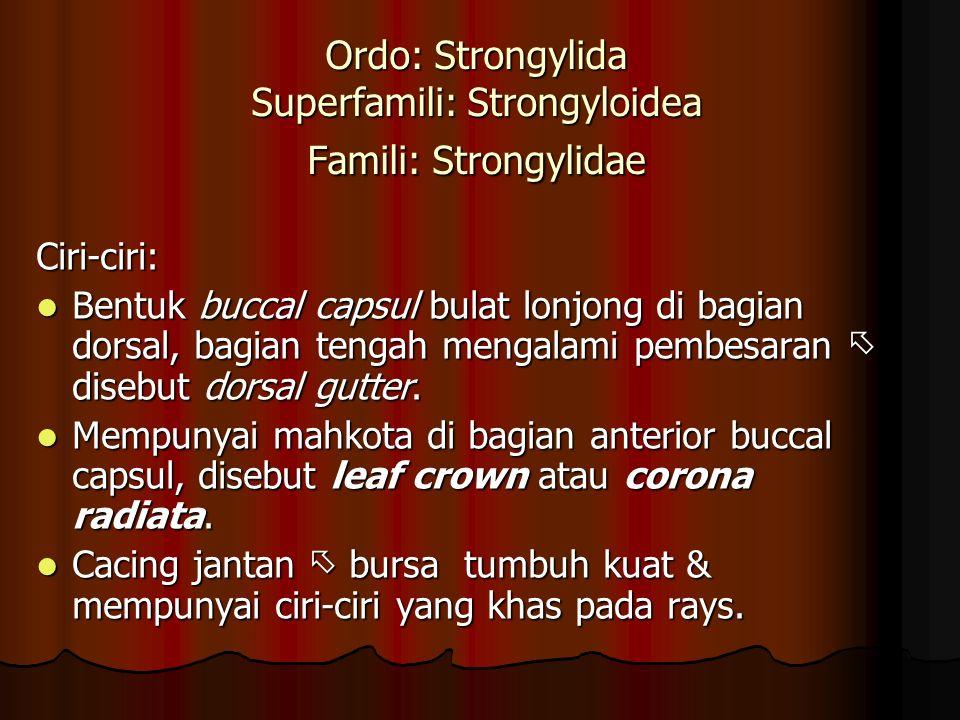Ordo: Strongylida Superfamili: Strongyloidea Famili: Strongylidae