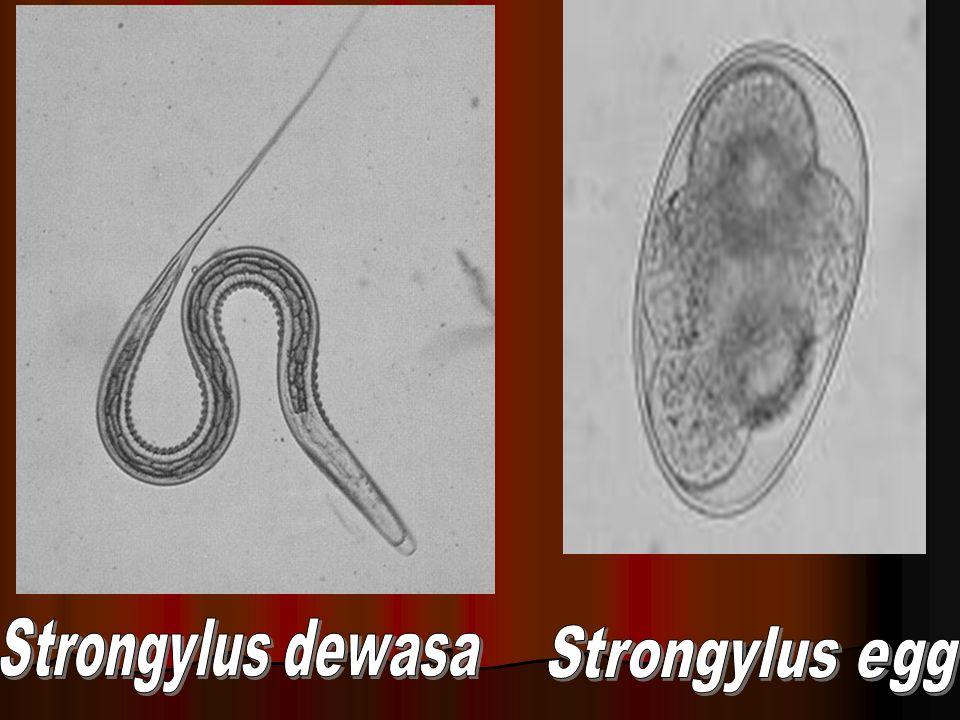 Strongylus dewasa Strongylus egg