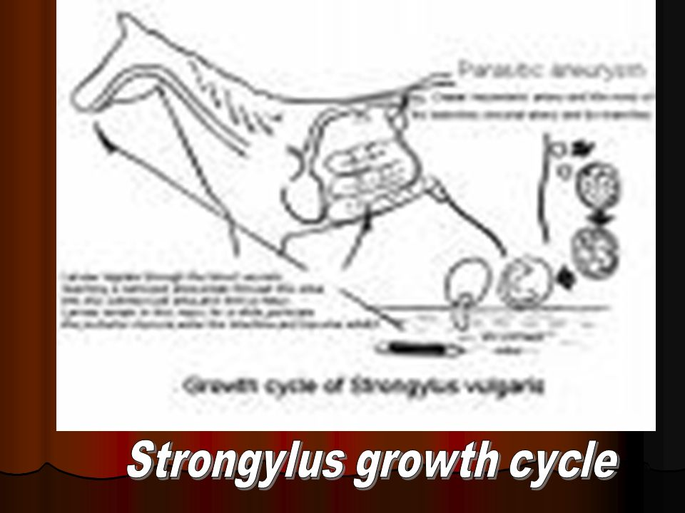 Strongylus growth cycle