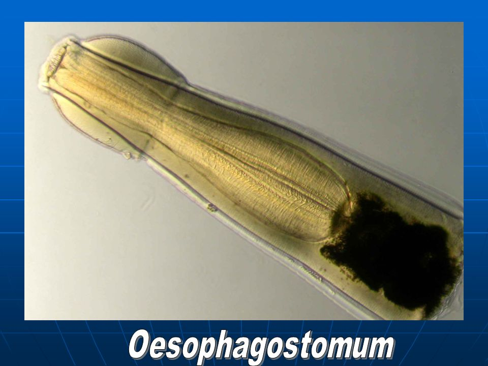 Oesophagostomum