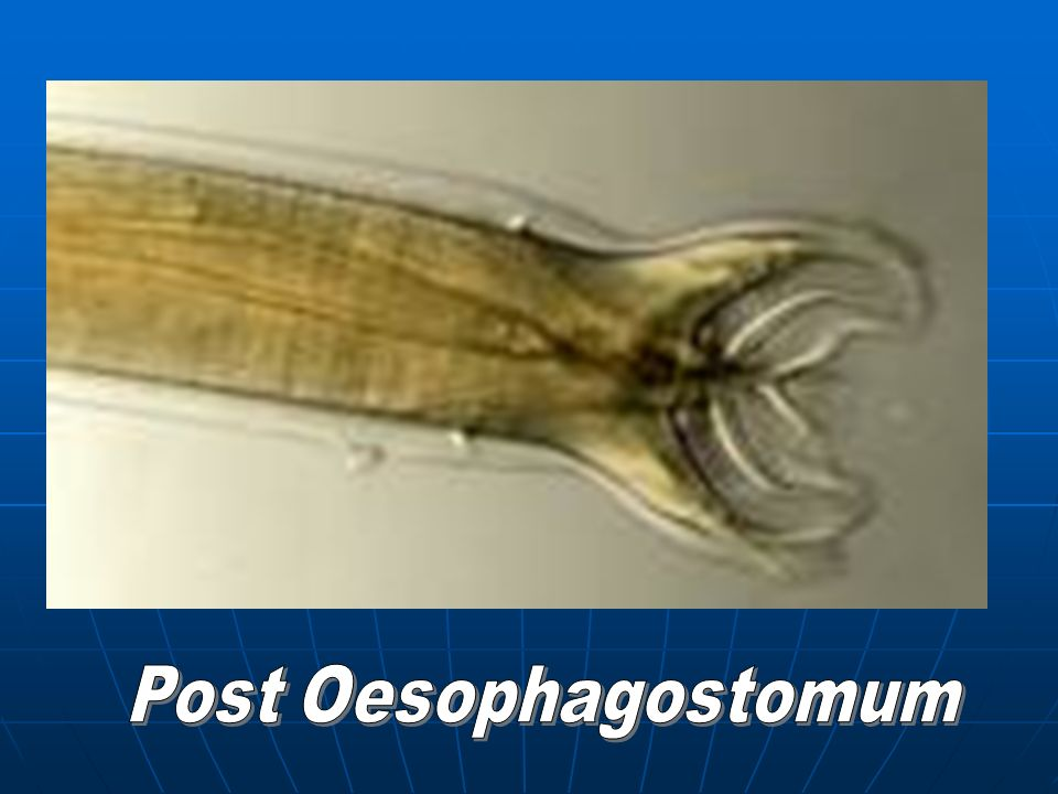 Post Oesophagostomum