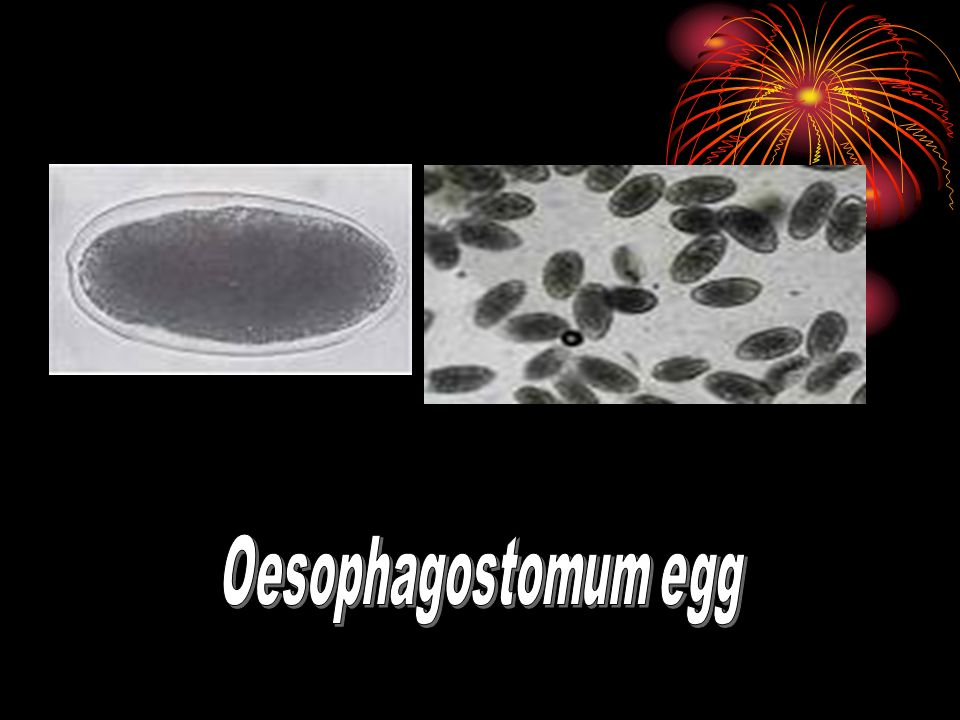 Oesophagostomum egg