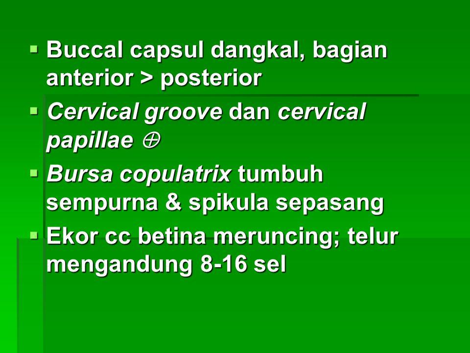 Buccal capsul dangkal, bagian anterior > posterior