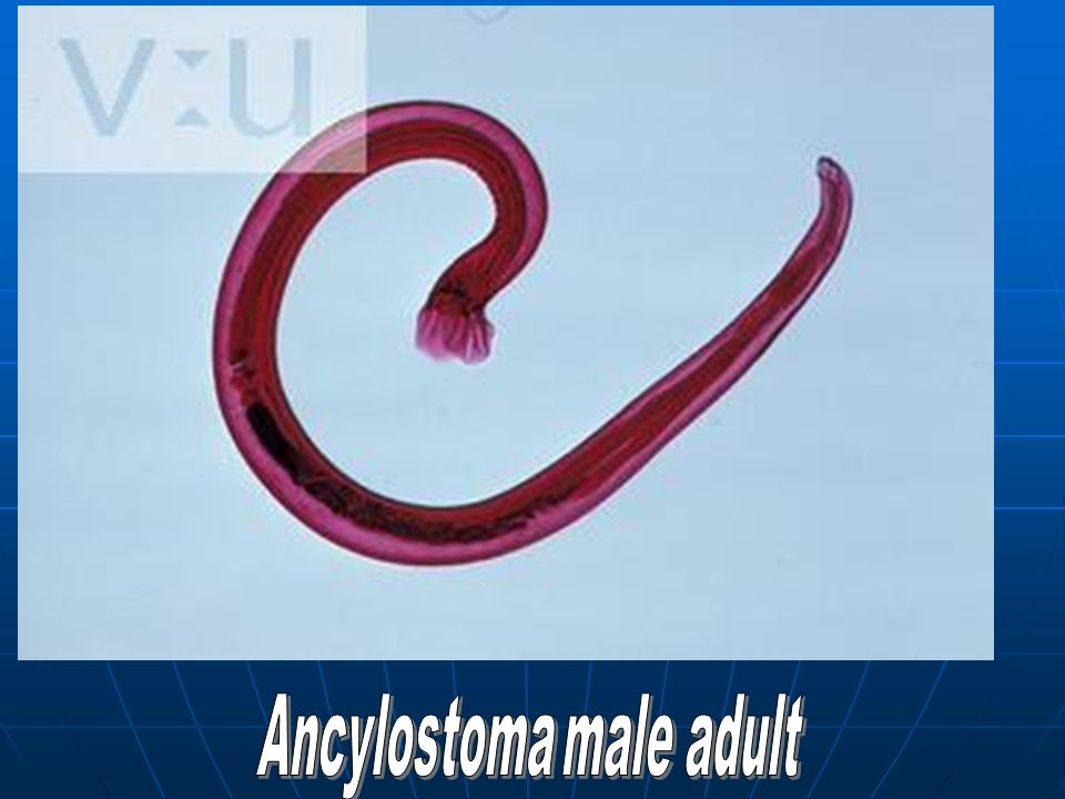 Ancylostoma male adult