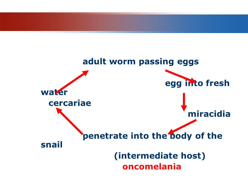 Life cycle adult worm passing eggs egg into fresh water cercariae