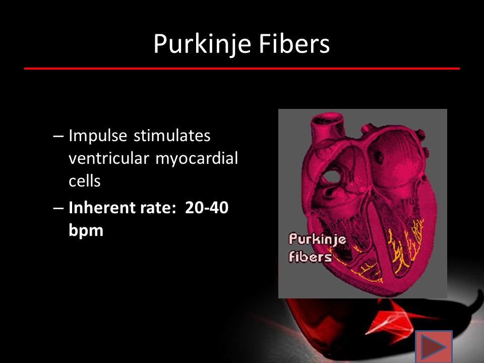 Purkinje Fibers Impulse stimulates ventricular myocardial cells