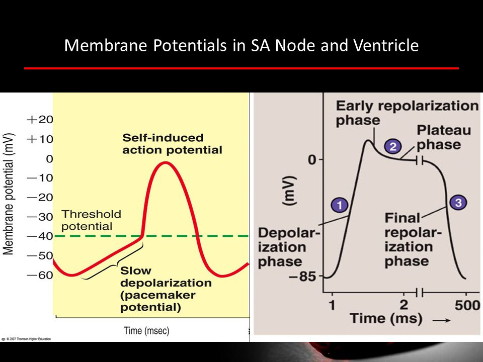 Membrane Potentials in SA Node and Ventricle