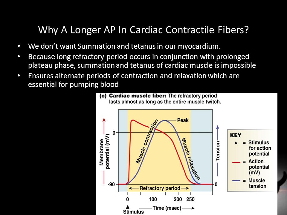 Why A Longer AP In Cardiac Contractile Fibers