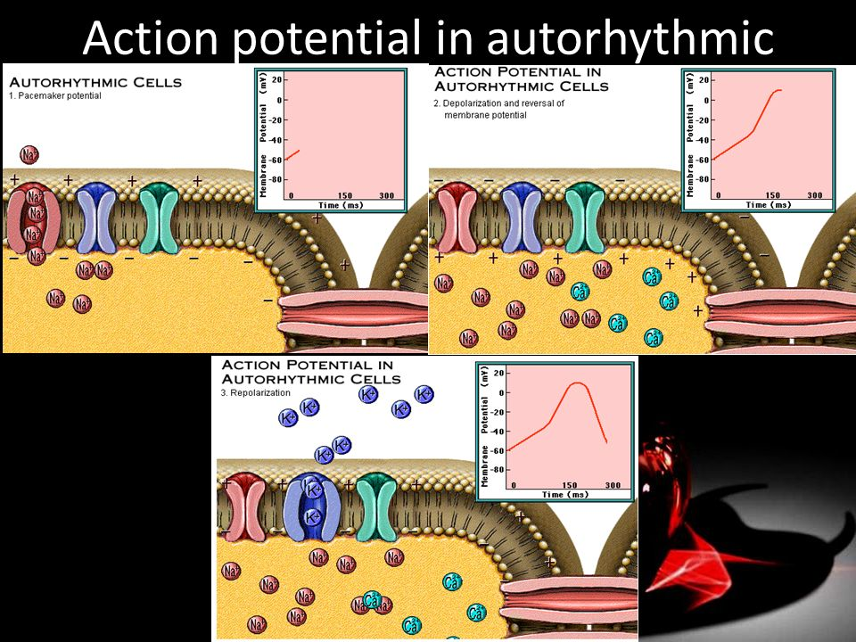 Action potential in autorhythmic cells