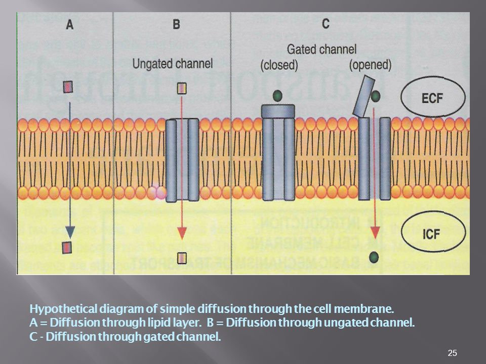 Hypothetical diagram of simple diffusion through the cell membrane