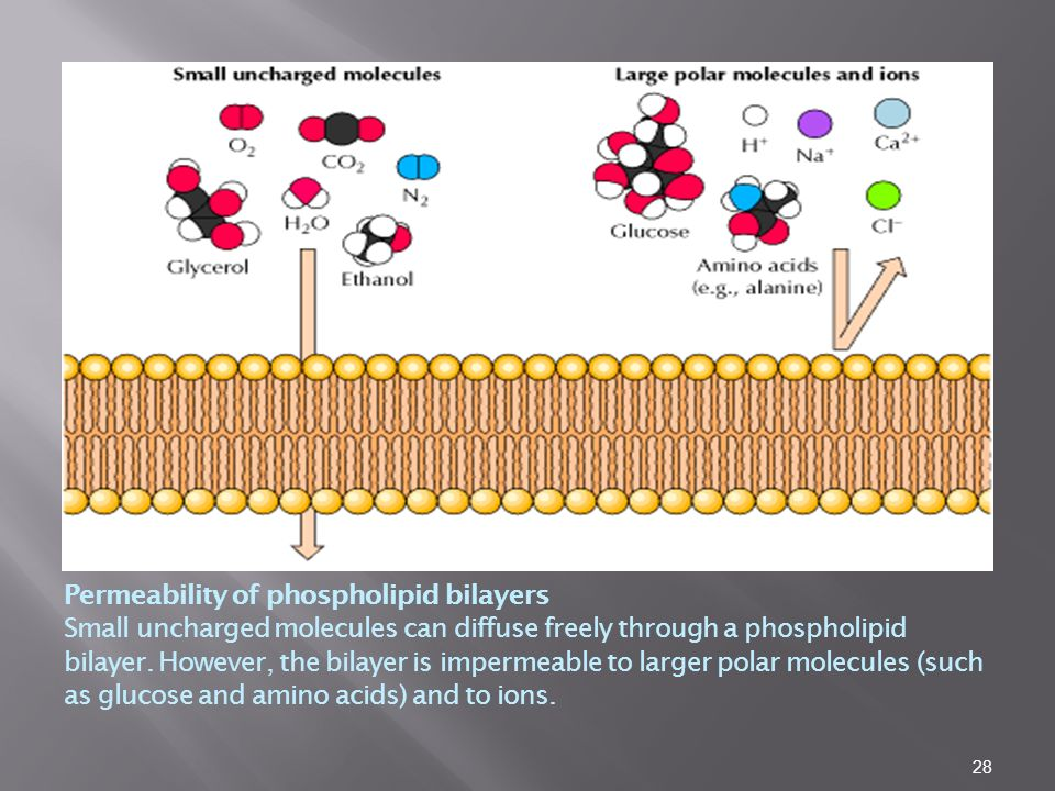 Permeability of phospholipid bilayers Small uncharged molecules can diffuse freely through a phospholipid bilayer.
