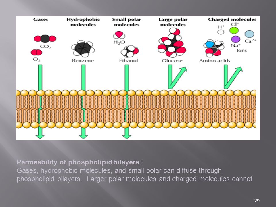 Permeability of phospholipid bilayers : Gases, hydrophobic molecules, and small polar can diffuse through phospholipid bilayers.