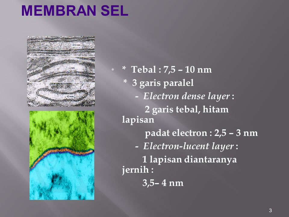 MEMBRAN SEL * Tebal : 7,5 – 10 nm * 3 garis paralel