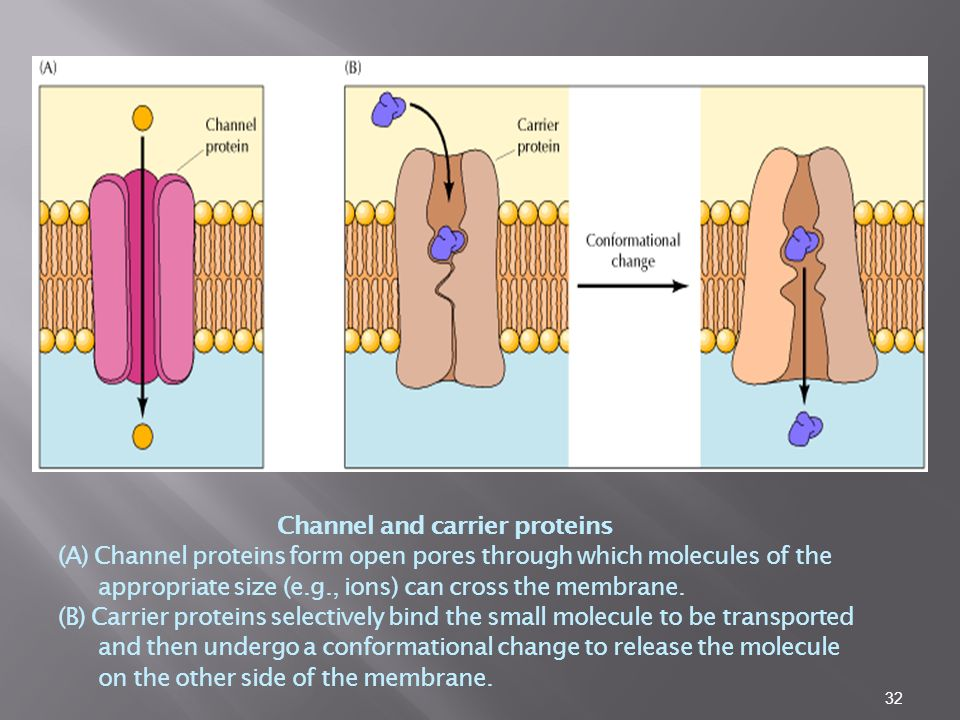 Channel and carrier proteins (A) Channel proteins form open pores through which molecules of the appropriate size (e.g., ions) can cross the membrane.
