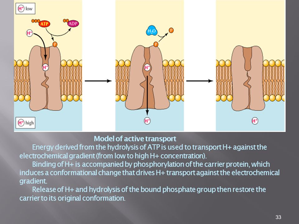 Model of active transport Energy derived from the hydrolysis of ATP is used to transport H+ against the electrochemical gradient (from low to high H+ concentration).