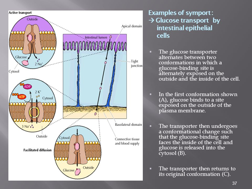 Examples of symport :  Glucose transport by intestinal epithelial