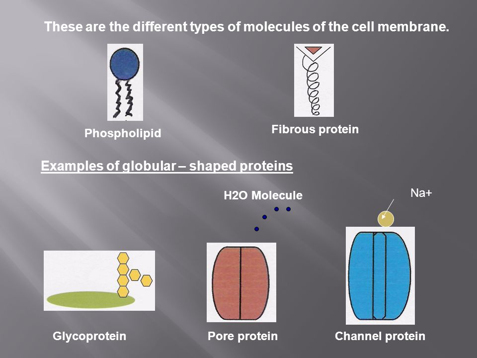 These are the different types of molecules of the cell membrane.