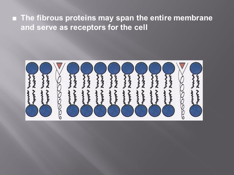 ■ The fibrous proteins may span the entire membrane