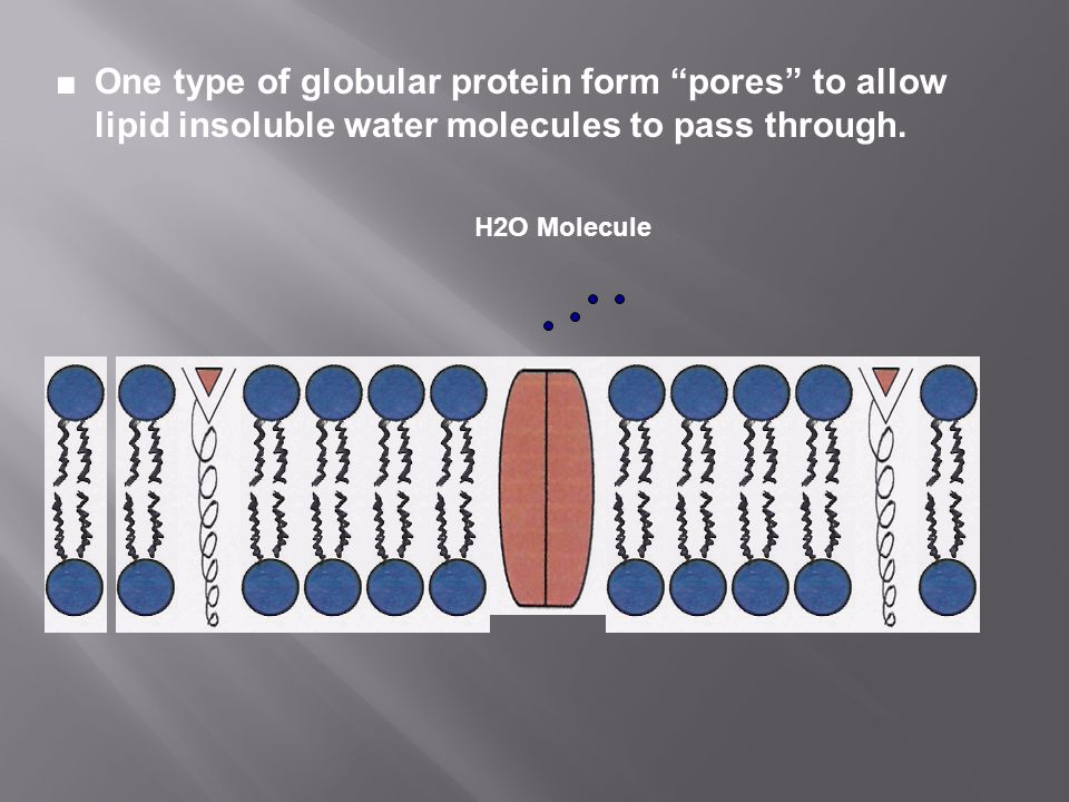 ■ One type of globular protein form pores to allow