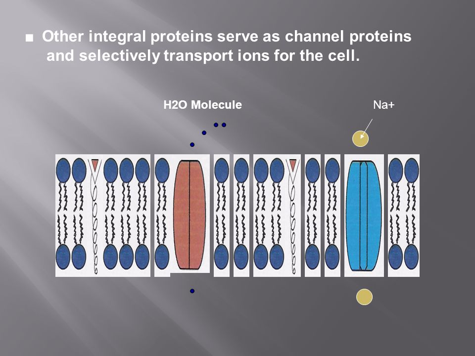 ■ Other integral proteins serve as channel proteins