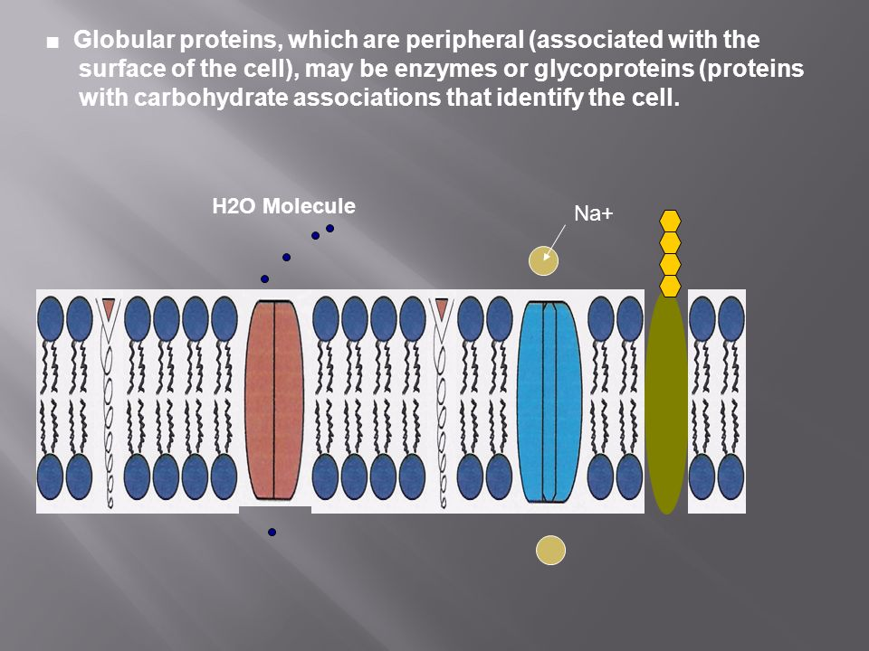 ■ Globular proteins, which are peripheral (associated with the