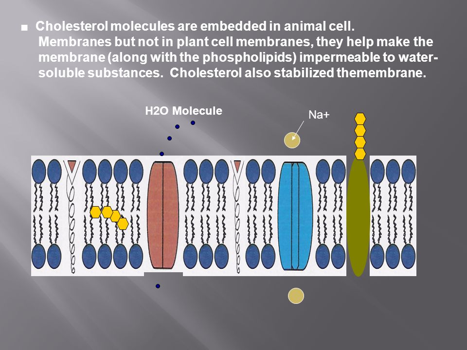■ Cholesterol molecules are embedded in animal cell.