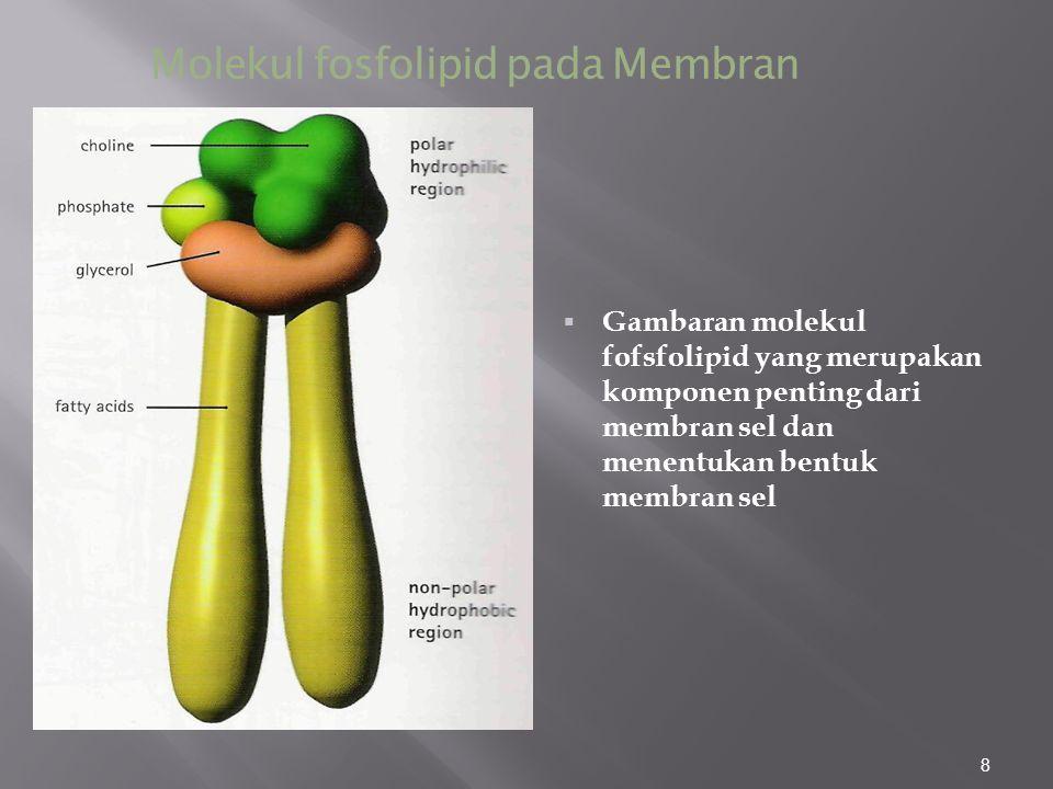Molekul fosfolipid pada Membran