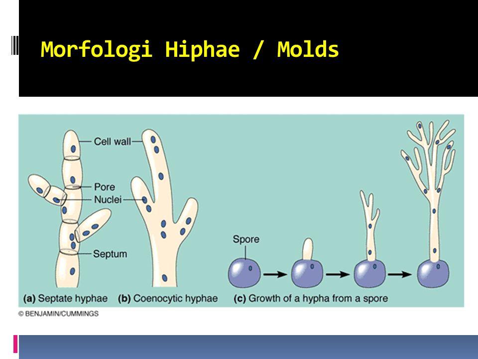 Morfologi Hiphae / Molds
