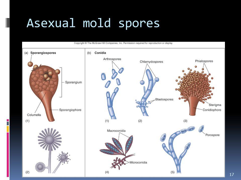 Asexual mold spores