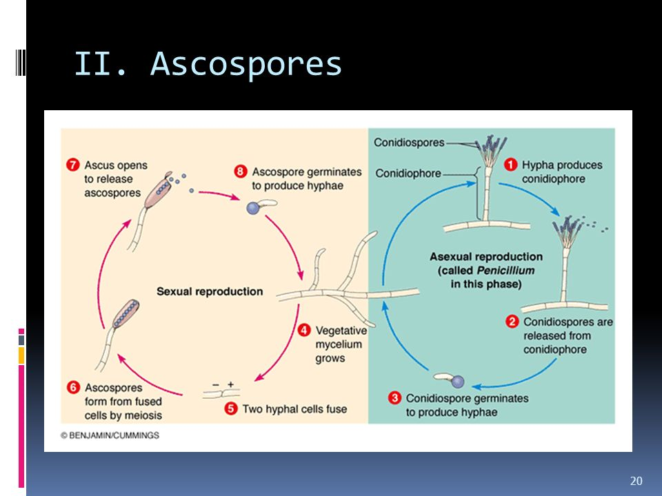 II. Ascospores