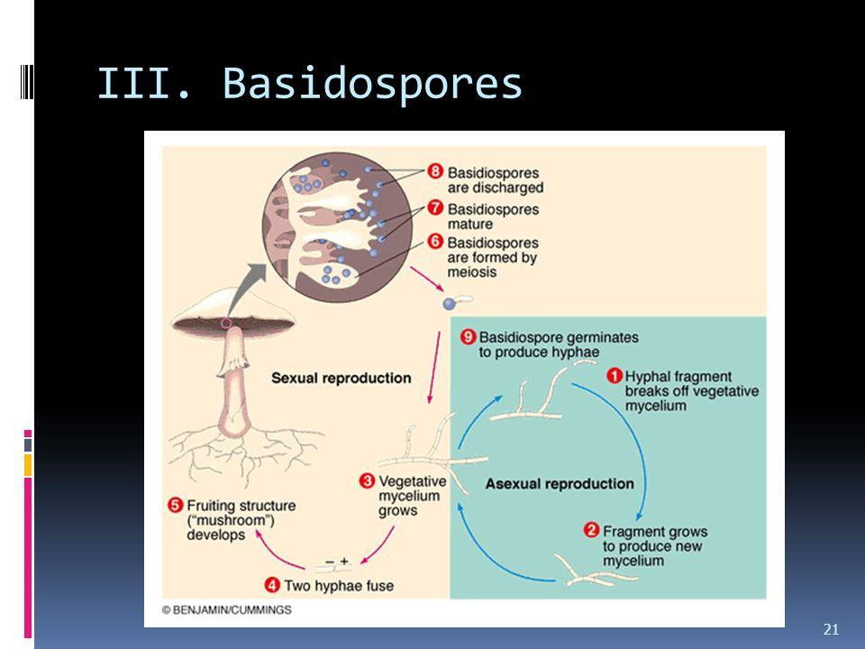 III. Basidospores
