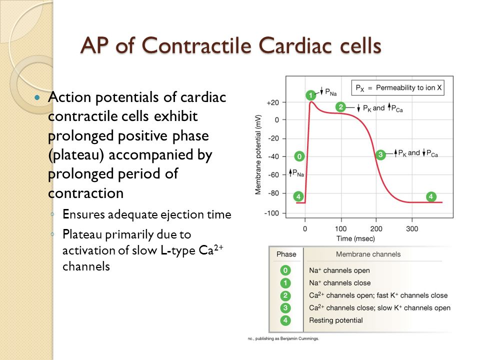 AP of Contractile Cardiac cells
