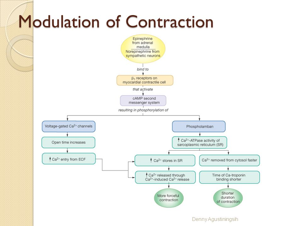 Modulation of Contraction