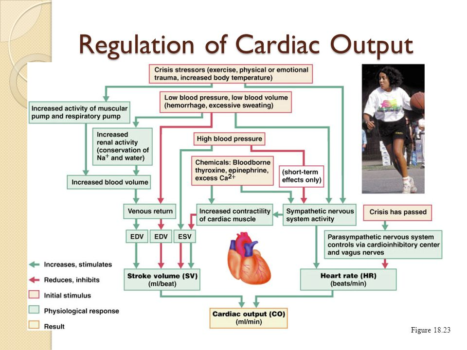 Regulation of Cardiac Output