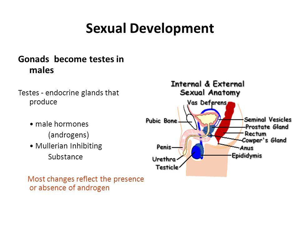 Sexual Development Gonads become testes in males