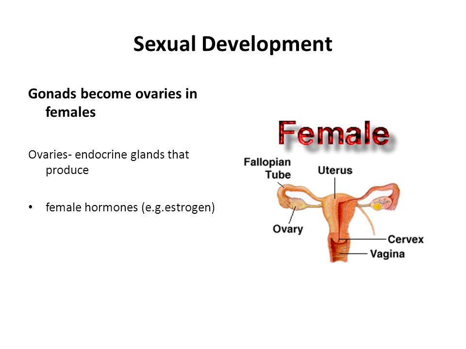 Sexual Development Gonads become ovaries in females