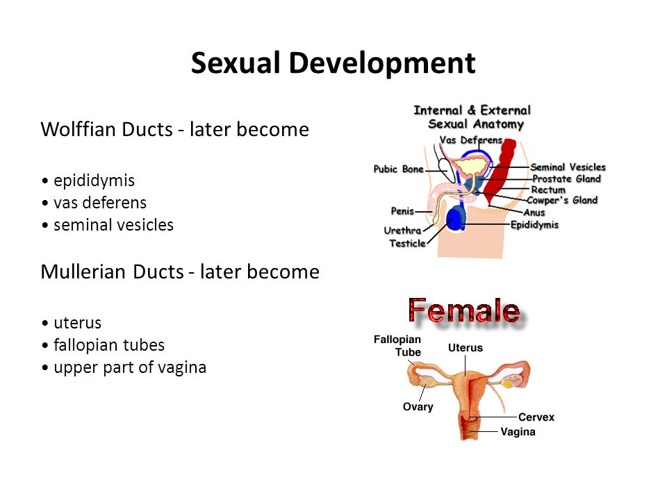 Sexual Development Wolffian Ducts - later become