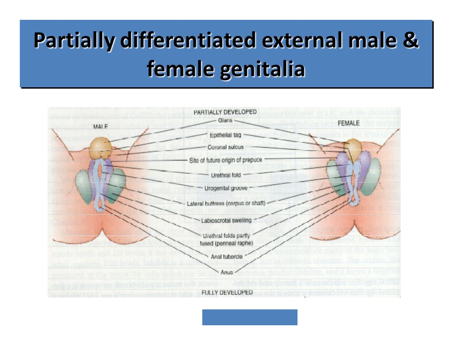 Partially differentiated external male & female genitalia
