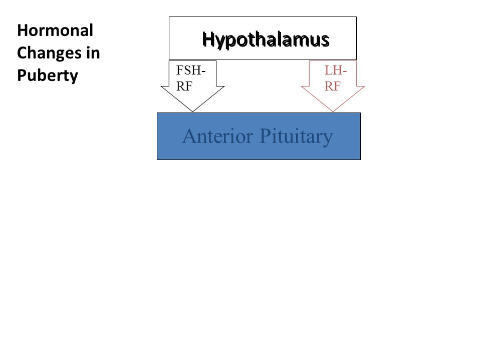 Hypothalamus Anterior Pituitary Hormonal Changes in Puberty FSH- RF