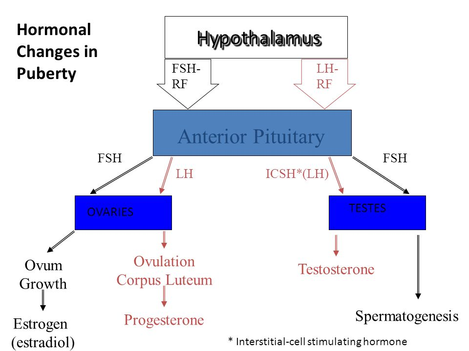 Hypothalamus Anterior Pituitary Hormonal Changes in Puberty Ovulation