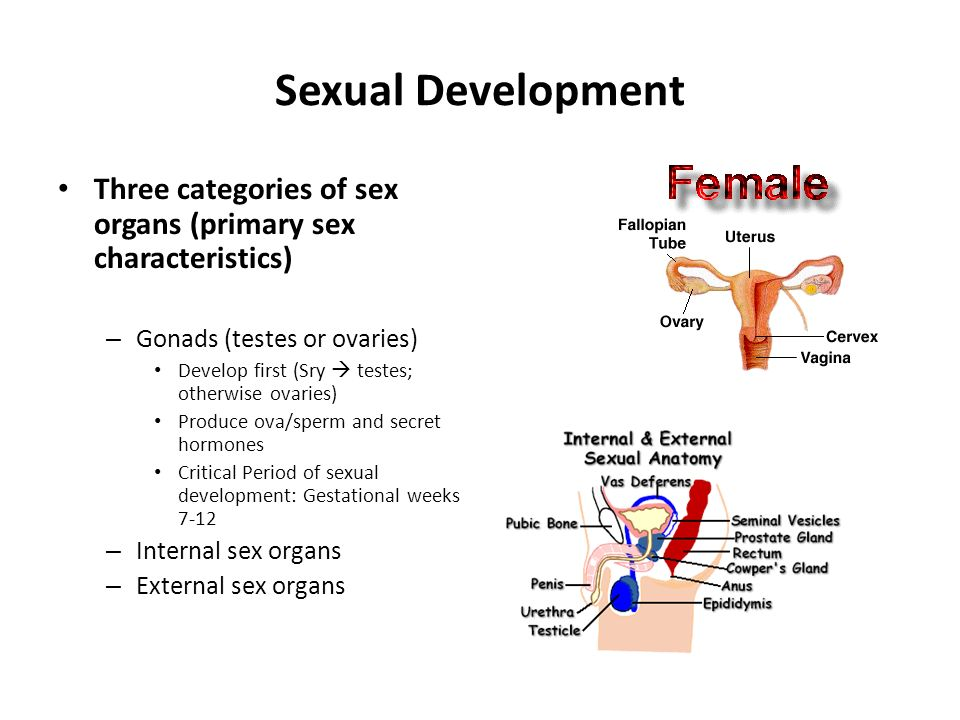 Sexual Development Three categories of sex organs (primary sex characteristics) Gonads (testes or ovaries)