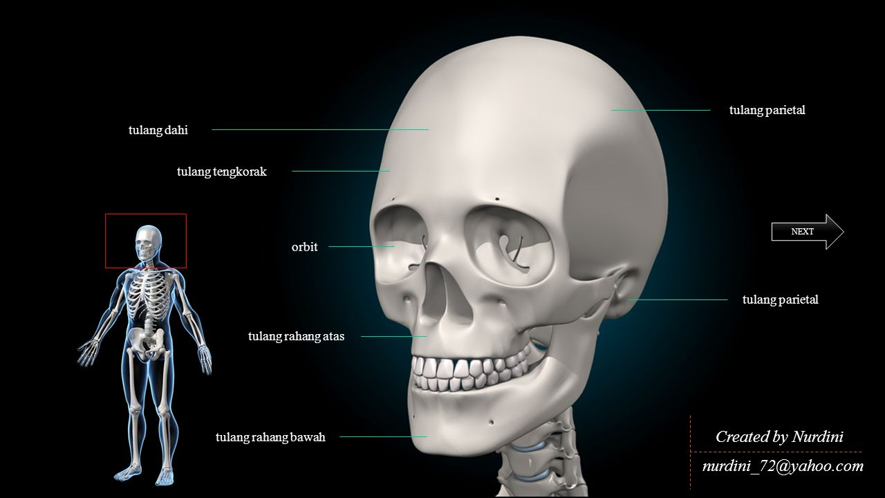 Created by Nurdini nurdini_72@yahoo.com tulang parietal tulang dahi
