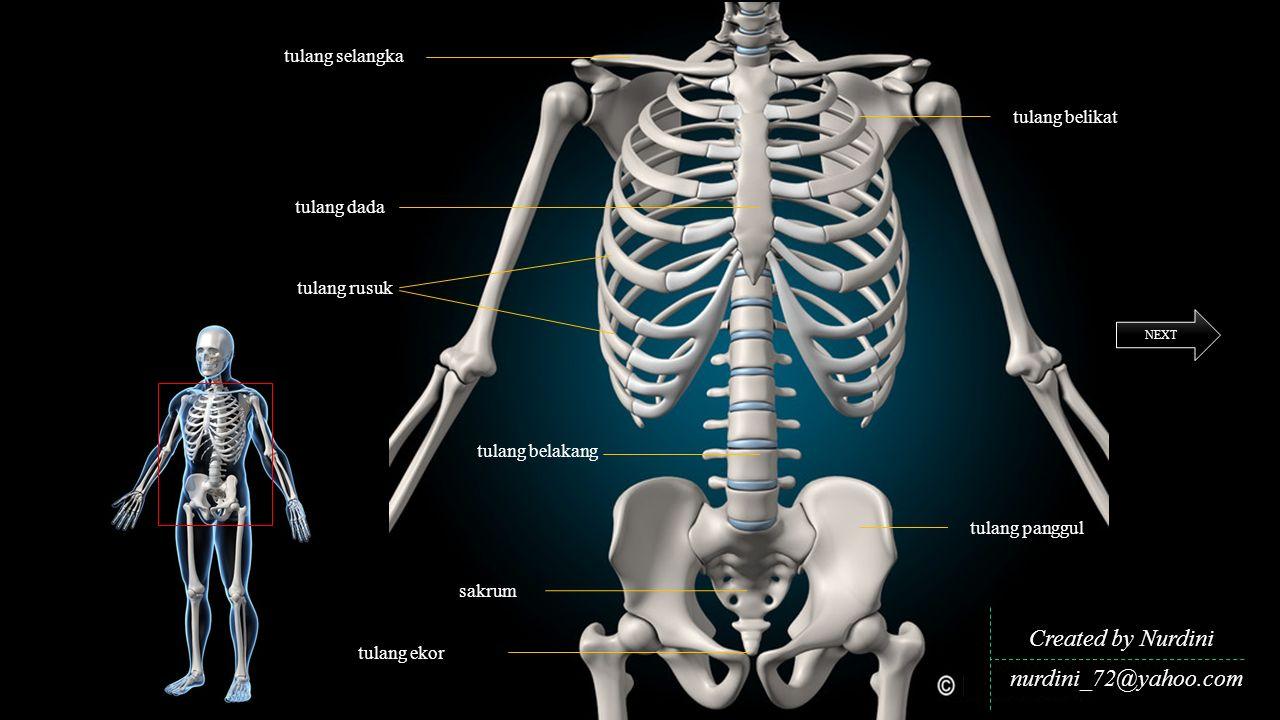Created by Nurdini nurdini_72@yahoo.com tulang selangka tulang belikat